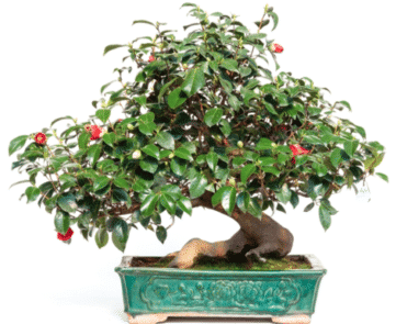 Bonsai Con Passione